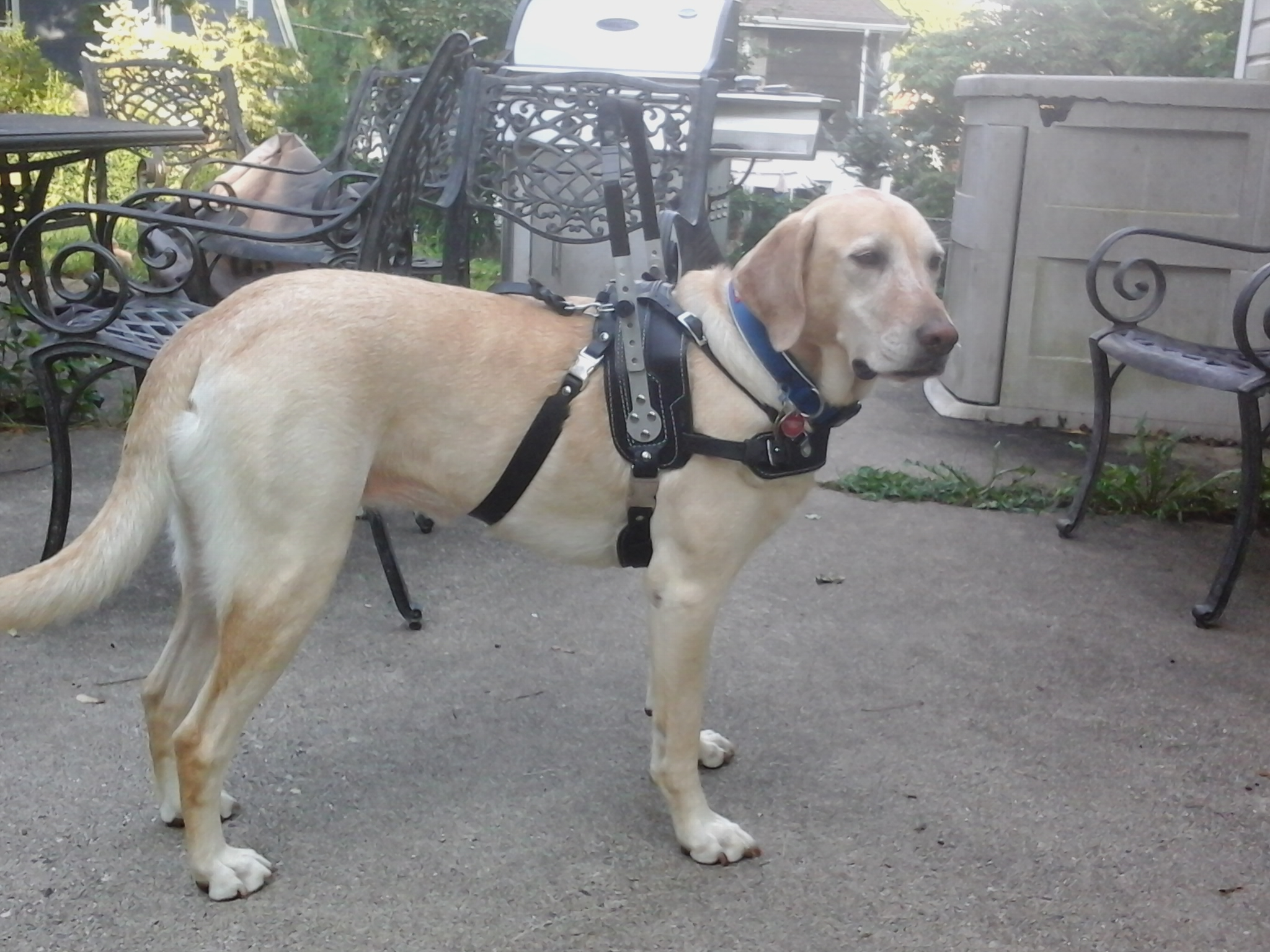 dog harness   The Pitter Patter of Paws